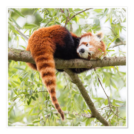 Premium poster  Red panda resting in a tree