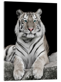 Acrylic print  Handsome tiger with color accents