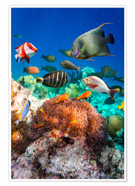 Premium poster  Coral reef in the Maldives