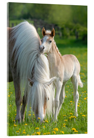 Acrylic print  Haflinger horse foal beside its mother - Katho Menden