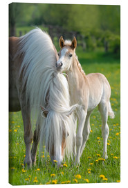 Canvas print  Haflinger horse foal beside its mother - Katho Menden