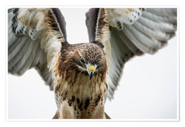 Premium poster  Red-tailed hawk (Buteo jamaicensis), bird of prey, England, United Kingdom, Europe - Janette Hill