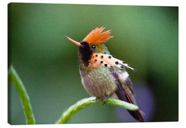 Canvas print  Tufted coquette hummingbird - Bob Gibbons