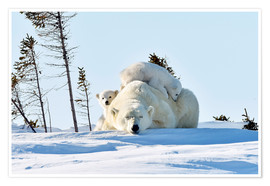 Premium poster  Polar bear mother and cubs - P. Marazzi