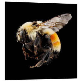Foam board print  Hunt's bumblebee
