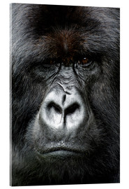 Acrylic print  Silverback gorilla looking intensely, in the Volcanoes National Park, Rwanda, Africa - Matt Frost