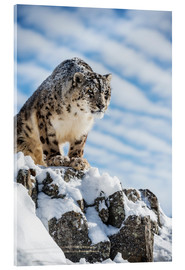 Acrylic print  Snow leopard (Panthera india) - Janette Hill
