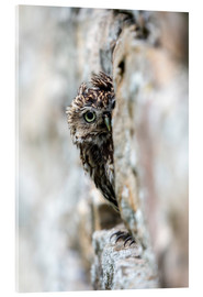 Acrylic print  Little owl perched in stone barn - Ann & Steve Toon