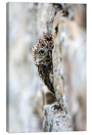 Canvas print  Little owl perched in stone barn - Ann & Steve Toon