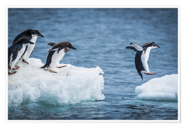 Premium poster  Adelie penguins between two ice floes - Nick Dale
