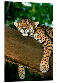 Acrylic print  Jaguar resting in a tree - William Ervin