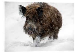 Acrylic print  Wild boar - Louise Murray