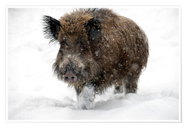 Premium poster  Wild boar - Louise Murray