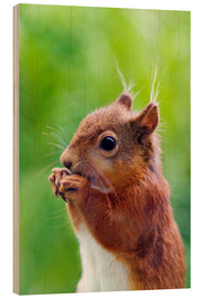 Wood print  Red squirrel - Simon Fraser