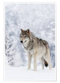 Premium poster  Tundra Wolf in snow - Doug Lindstrand