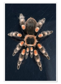 Premium poster  Mexican Red Knee Tarantula - Janette Hill