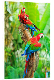 Acrylic print  Group of Dark Red Macaws