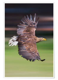 Premium poster  Flying white-tailed eagle - Frank Fischbach