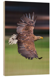 Wood print  Flying white-tailed eagle - Frank Fischbach