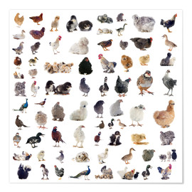 Premium poster  Overview Chicken