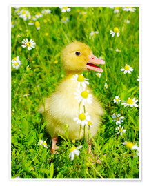 Premium poster  Duckling on flowery meadow