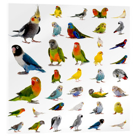 Acrylic print  Parrots and parakeets
