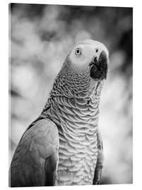 Acrylic print  African grey Parrot in gray