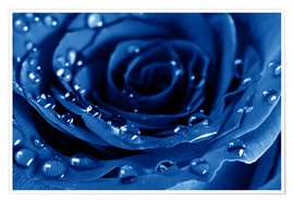 Premium poster  Blue Roses with Water Drops