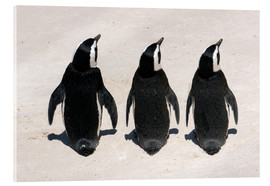 Acrylic print  Three African penguins - Catharina Lux