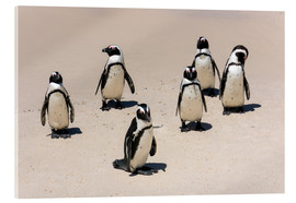 Acrylic print  Gruppe afrikanischer Pinguine, Boulders Reserve, Boulders Beach - Catharina Lux