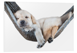 Foam board print  Labrador puppy in hammock - Beate Margraf