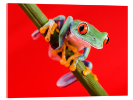 Acrylic print  Tree frog on red