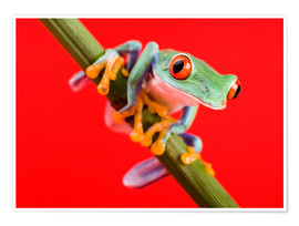 Premium poster  Tree frog on red