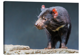 Canvas print  Tasmanian devil