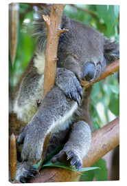 Canvas print  Sleeping Koala