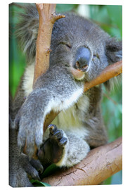 Canvas print  Dozing Koala