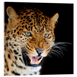Acrylic print  snarling leopard