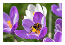 Premium poster  Spring flower crocus and bumble-bee - Remco Gielen