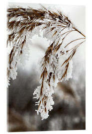 Acrylic print  Cereal stalk covered with frost