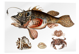 Acrylic print  Deep-sea fish, crabs and sea snails - Maria Sibylla Merian