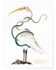 Premium poster  Heron encircled by a snake, with a worm in his bill - Maria Sibylla Merian
