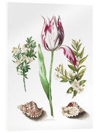 Acrylic print  Tulip with two myrtle branches and two shells - Maria Sibylla Merian
