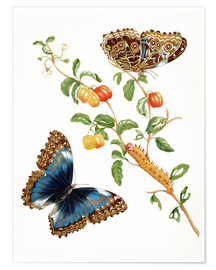 Premium poster  Butterfly - Maria Sibylla Merian