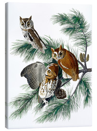 Canvas print  Three owls - John James Audubon