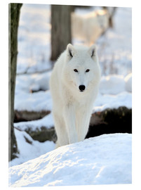 Acrylic print  Beautiful white wolf in the winter