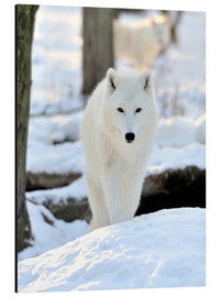 Aluminium print  Beautiful white wolf in the winter