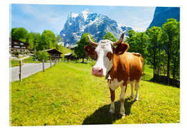 Acrylic print  Miss Willow Cow