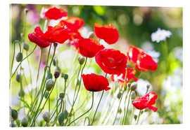 Acrylic print  Red poppies on a sunny day