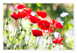 Premium poster  Red poppies on a sunny day