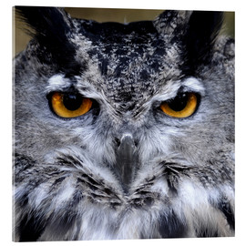 Acrylic print  Great Horned Owl